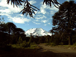 volcano Lonquimay and Araucarias